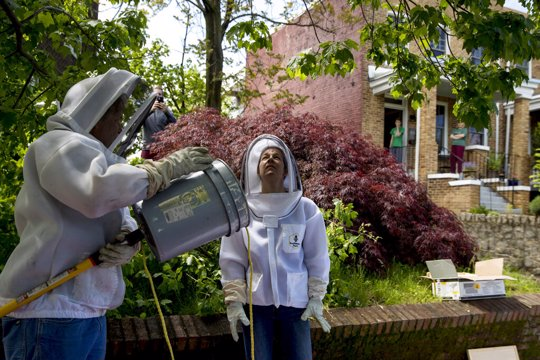 Beekeepers Sean Kennedy, left, and Erin Gleeson, right, prepare to capture a swarm of honey bees and relocate them to a bee hive, Friday, May 1, 2020, in Washington. The District of Columbia has declared beekeepers as essential workers during the coronavirus outbreak. If the swarm isn't collected by a beekeeper, the new hive can come to settle in residential backyards, attics, crawlspaces, or other potentially ruinous areas, creating a stinging, scary nuisance.