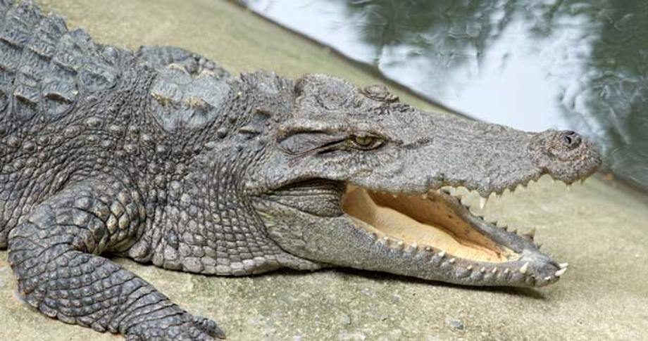 Alligator by the water