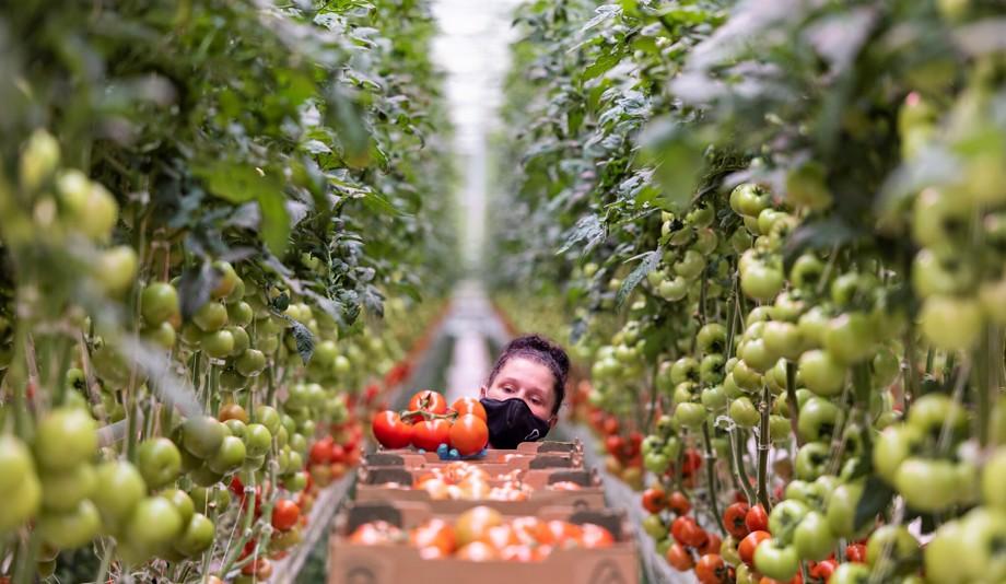 worker harvesting tomatoes