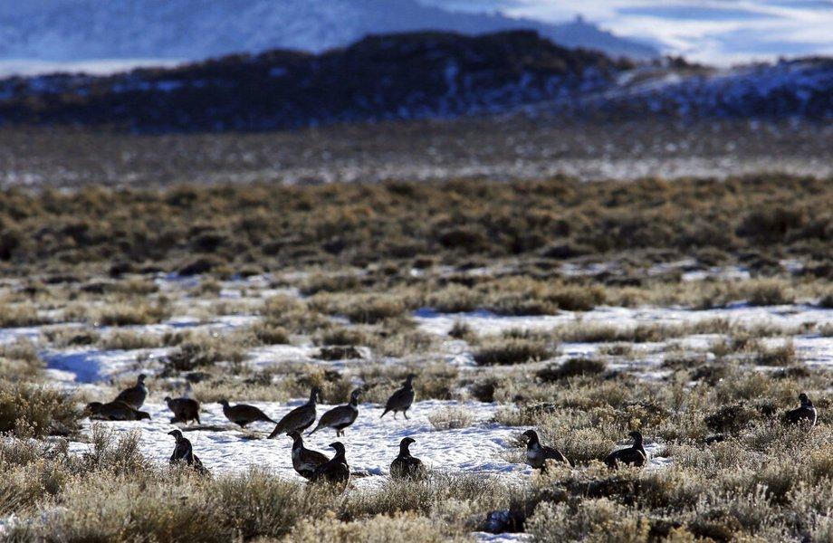 Sage Grouse on prairie in Wyoming