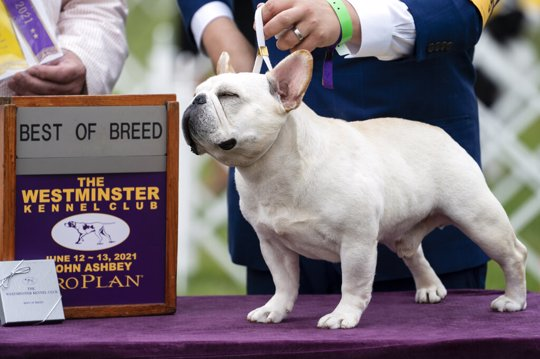 Mathew, a French bulldog, wins the top prize in his breed group