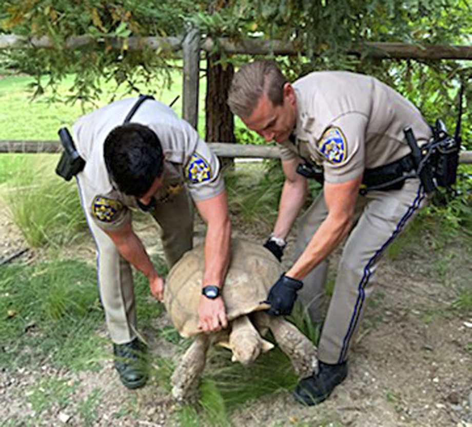 California Highway Patrol shows officers rescuing a 250-pound tortoise that wandered away from its home and was spotted on the shoulder of a road in Santa Ynez, California