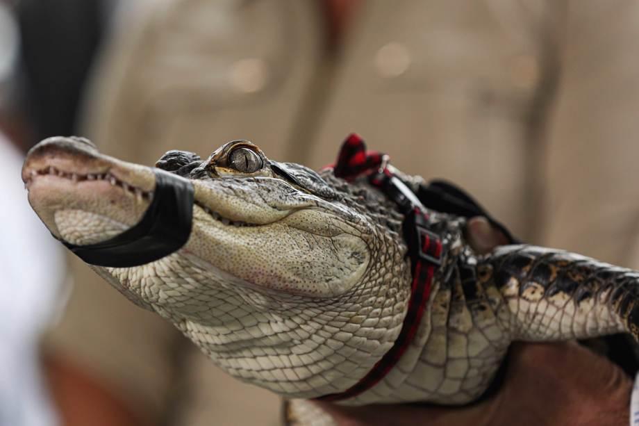 Alligator Caught In Chicago