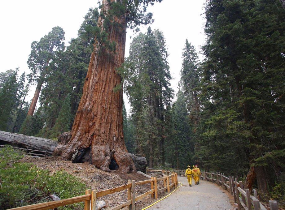 Firefighters walk by giant Sequoia