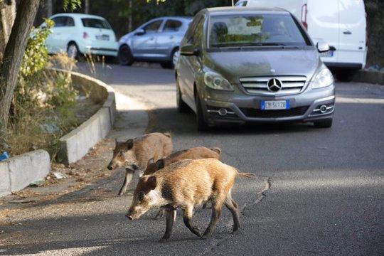 Wild Boars cross a street in Rome