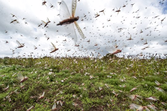 Swarms of desert locusts fly up into the air from crops in Katitika village, Kitui county, Kenya Friday, Jan. 24, 2020. Desert locusts have swarmed into Kenya by the hundreds of millions from Somalia and Ethiopia, countries that haven't seen such numbers in a quarter-century, destroying farmland and threatening an already vulnerable region.