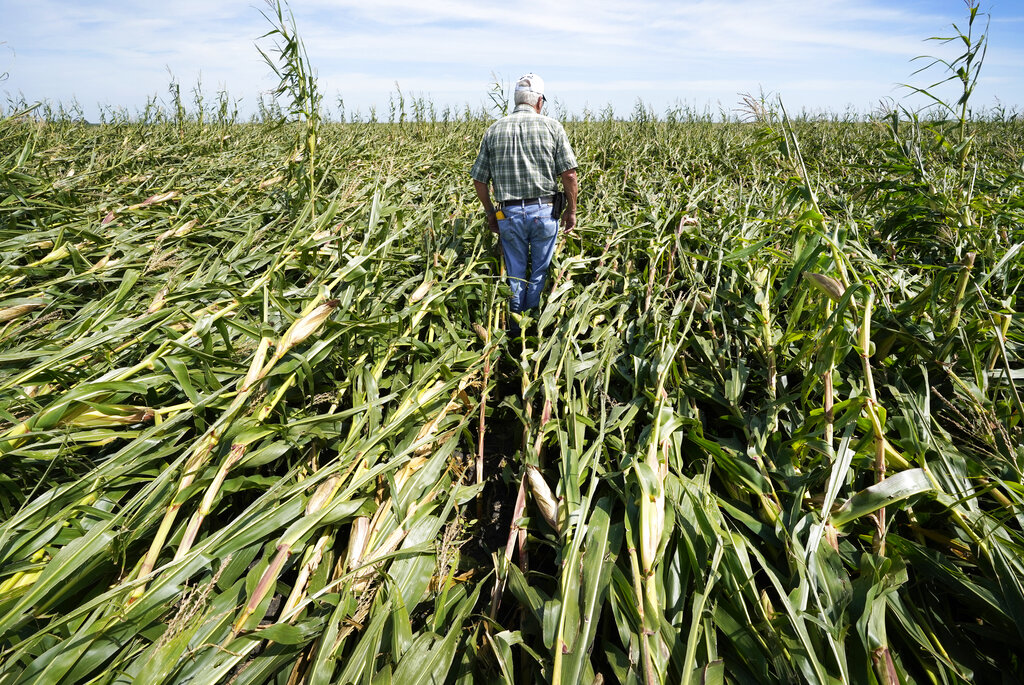 Rod Pierce walks through a cornfield damaged in the derecho earlier this month, Thursday, Aug. 20, 2020, near Woodward, Iowa.