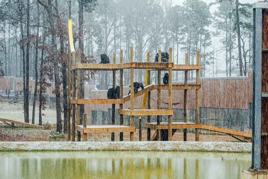 Chimpanzees in Alpha's social group enjoy ing the snowfall from observation decks in a forested habitat