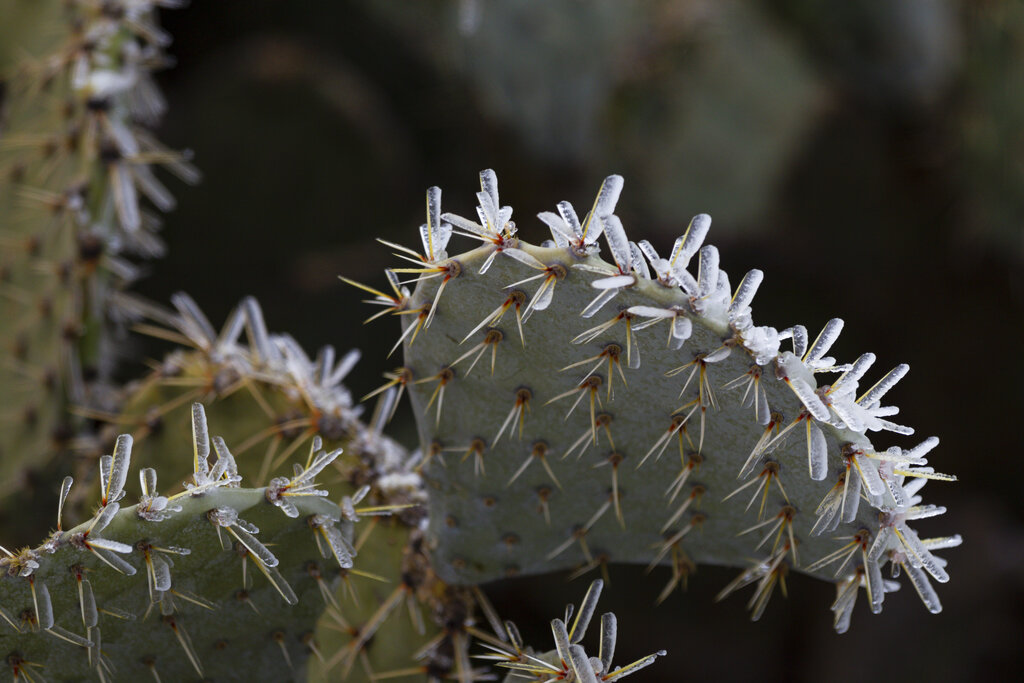 Ice On Prickly Pear Cactus In Texas
