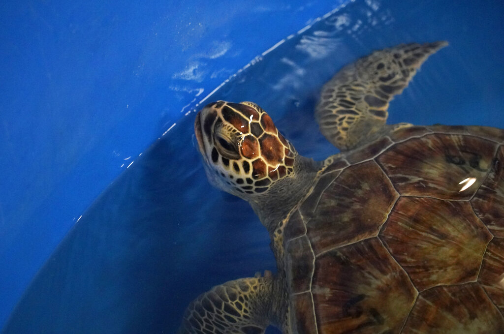 A green sea turtle is shown during its final swim test at Texas A&M Galveston