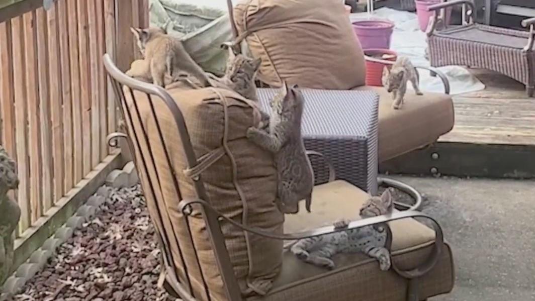 Bobcat kittens climbing on chair