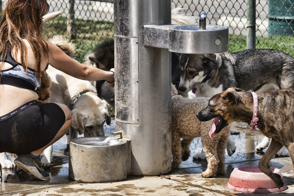 A dog walker gives water from a fountain to her pack of dogs at the Sepulveda Basin Dog park in the Van Nuys section of Los Angeles