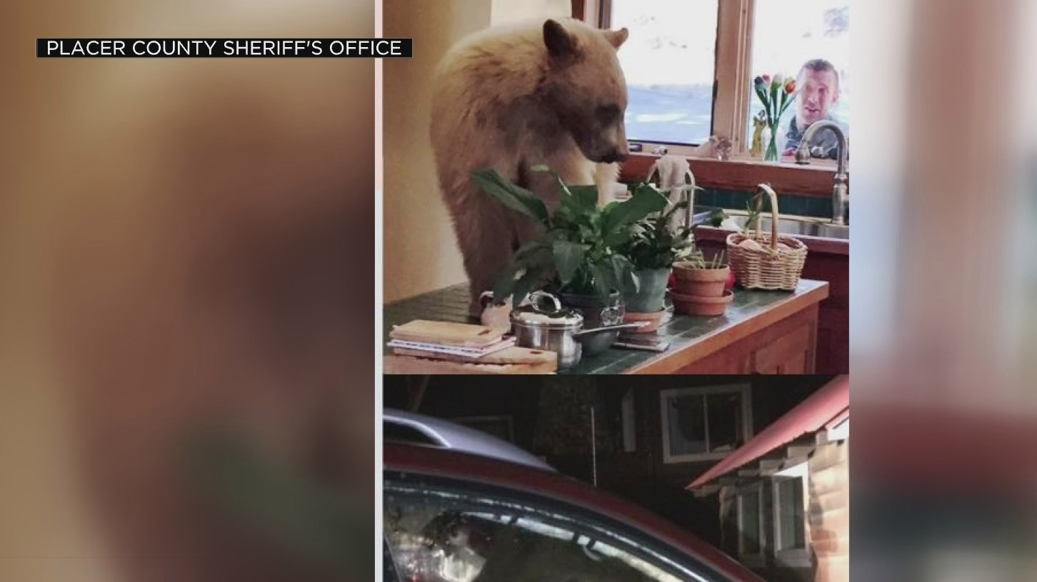 A bear inside a home on a kitchen counter