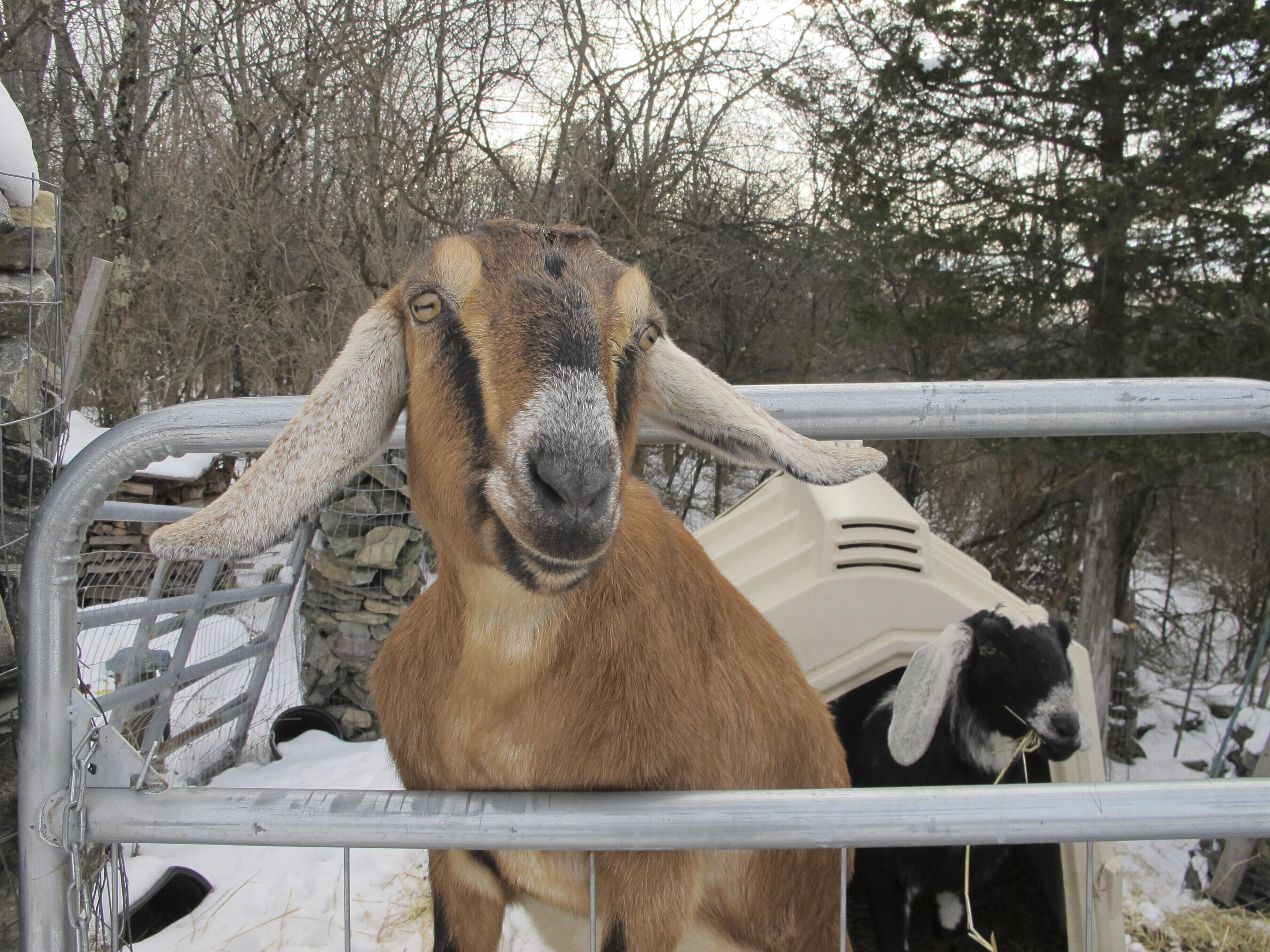 Goat running for mayor